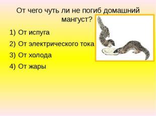 От чего чуть ли не погиб домашний мангуст? От испуга От электрического тока О