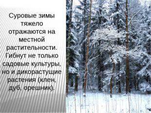 Суровые зимы тяжело отражаются на местной растительности. Гибнут не только са
