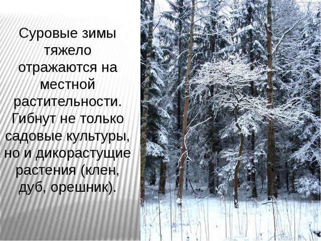 Суровые зимы тяжело отражаются на местной растительности. Гибнут не только са...