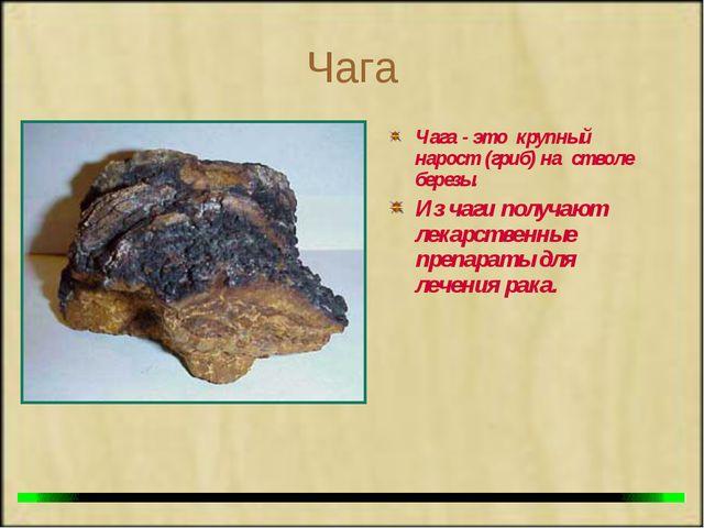 Чага Чага - это крупный нарост (гриб) на стволе березы. Из чаги получают лека...