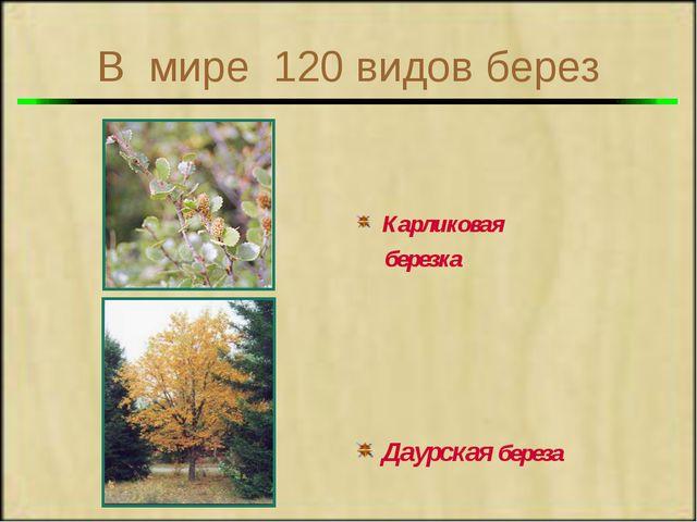 В мире 120 видов берез Карликовая березка Даурская береза