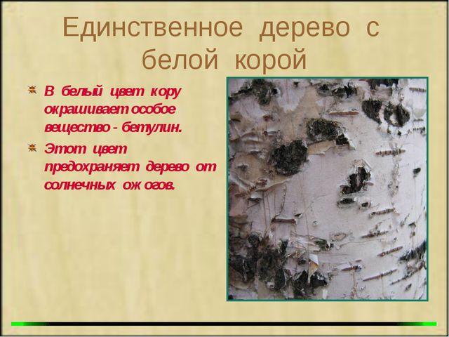 Единственное дерево с белой корой В белый цвет кору окрашивает особое веществ...