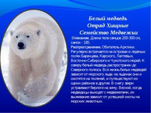 Белый медведь Отряд Хищные Семейство Медвежьи Описание. Длина тела самцов 20