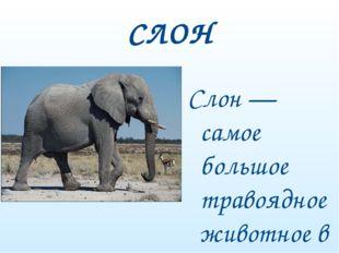 СЛОН Слон — самое большое травоядное животное в мире.