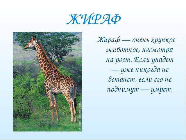 ЖИРАФ Жираф — очень хрупкое животное, несмотря на рост. Если упадет — уже ник...