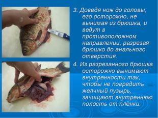 3. Доведя нож до головы, его осторожно, не вынимая из брюшка, и ведут в проти