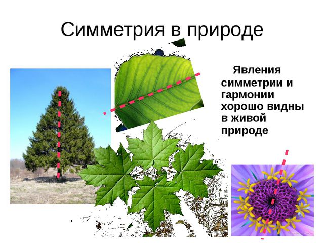 Симметрия в природе Явления симметрии и гармонии хорошо видны в живой природе