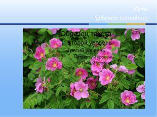 Лето Цветёт шиповник