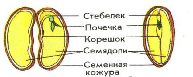 Схема фасоли 6 класс