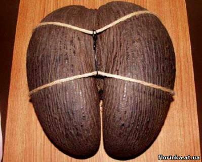 веерная сейшельская пальма