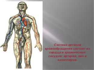 Система органов кровообращения состоит из сердца и кровеносных сосудов: артер