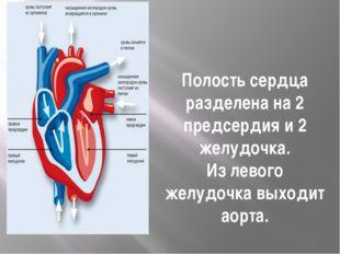 Полостьсердца разделена на 2 предсердия и 2 желудочка. Из левого желудочка в