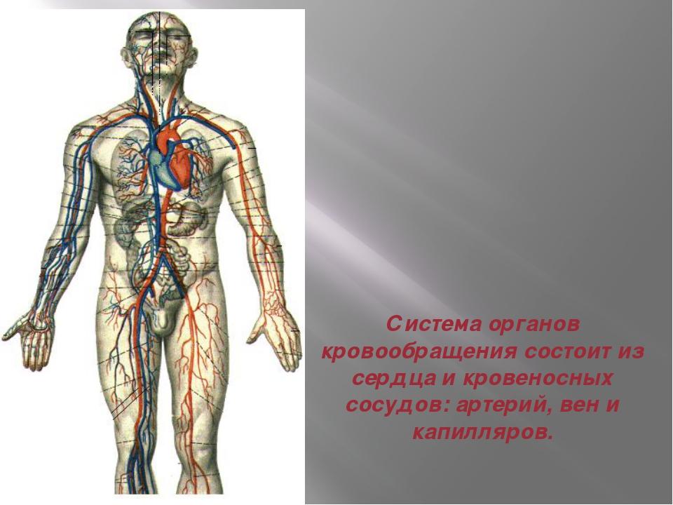 Система органов кровообращения состоит из сердца и кровеносных сосудов: артер...