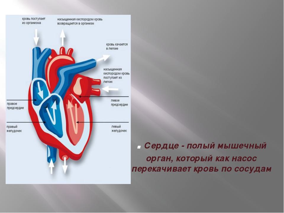 . Сердце - полый мышечный орган, который как насос перекачивает кровь по сосу...