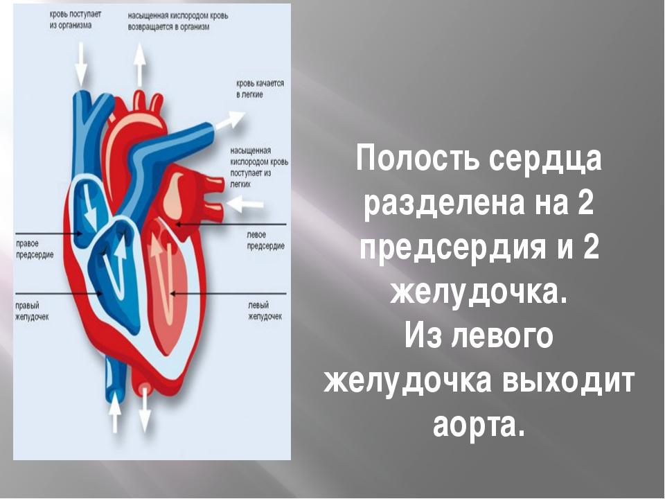 Полостьсердца разделена на 2 предсердия и 2 желудочка. Из левого желудочка в...