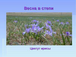 Весна в степи Цветут ирисы