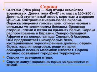 Сорока СОРОКА (Pica pica) — вид птицы семейства вороновых. Длина тела 45–47 с