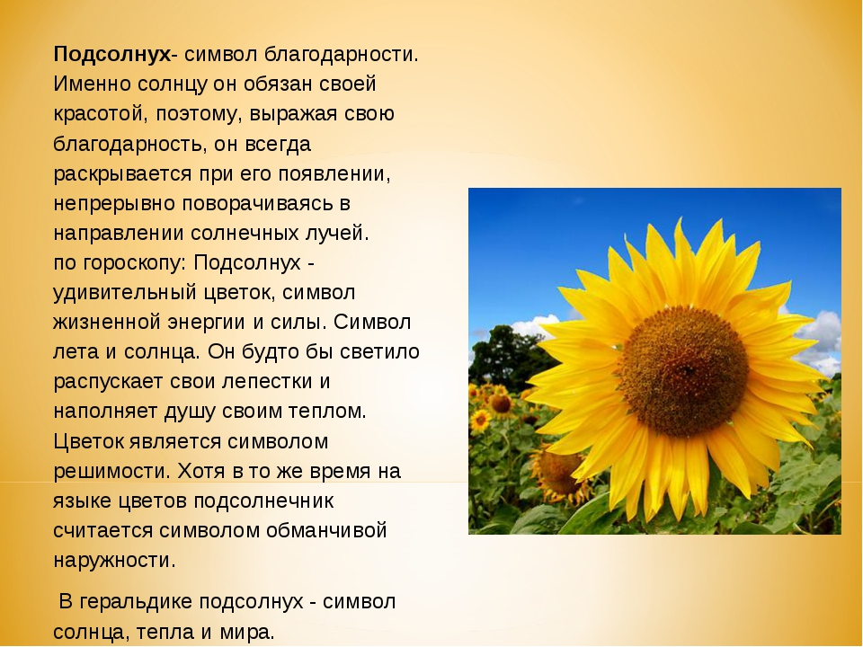 Подсолнух- символ благодарности. Именно солнцу он обязан своей красотой, поэт...