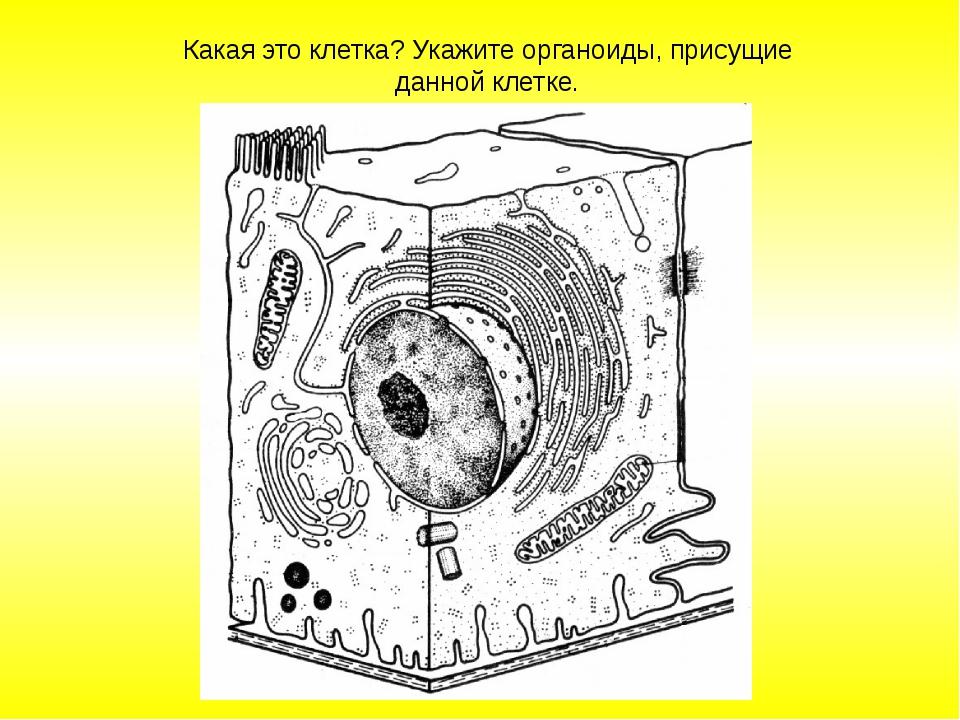 Какая это клетка? Укажите органоиды, присущие данной клетке.