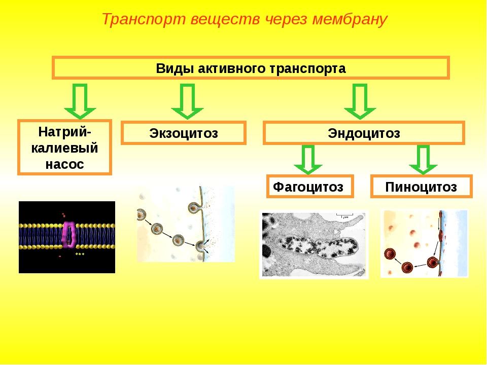 Виды активного транспорта Натрий-калиевый насос Экзоцитоз Эндоцитоз Фагоцитоз...