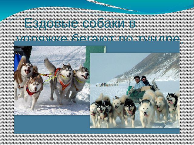 Ездовые собаки в упряжке бегают по тундре.