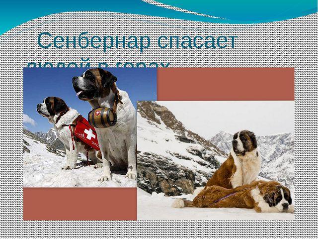 Сенбернар спасает людей в горах.