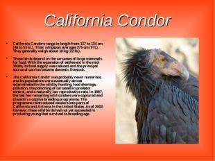 California Condor California Condors range in length from 117 to 134 cm (46 t