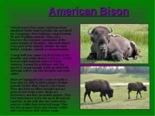 American Bison Nobody knows how many American bison inhabited North America b