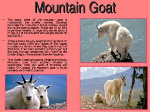 Mountain Goat The social order of the mountain goat is matriarchal; the small
