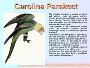 Carolina Parakeet The Carolina Parakeet is extinct, as direct and indirect re