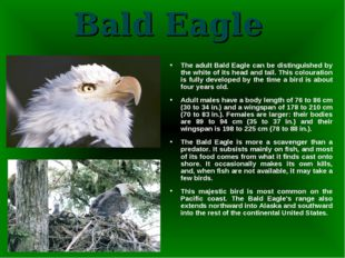 Bald Eagle The adult Bald Eagle can be distinguished by the white of its head