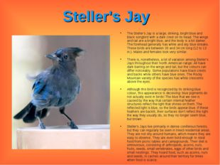 Steller's Jay The Steller's Jay is a large, striking, bright blue and black s