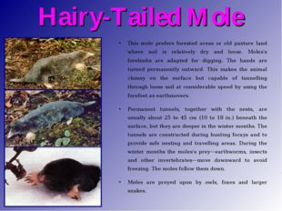 Hairy-Tailed Mole This mole prefers forested areas or old pasture land where