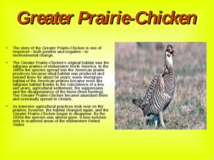 Greater Prairie-Chicken The story of the Greater Prairie-Chicken is one of re