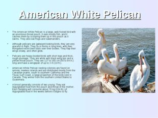American White Pelican The American White Pelican is a large, web-footed bird