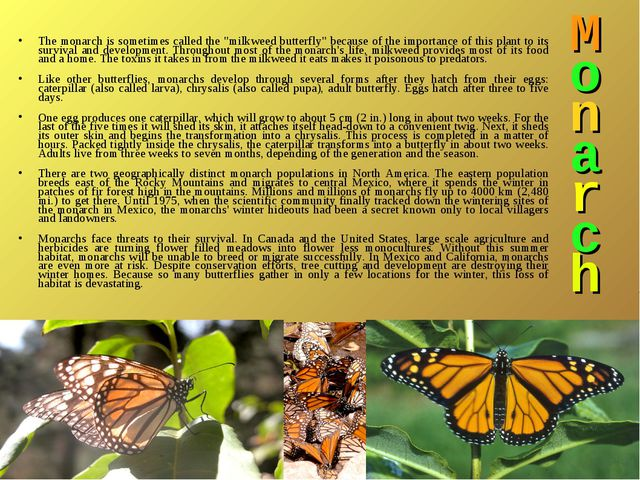"M o n a r c h The monarch is sometimes called the ""milkweed butterfly"" becaus..."