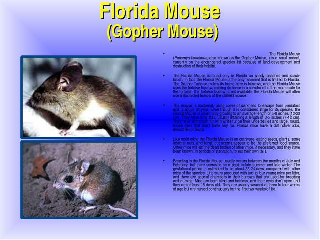 Florida Mouse (Gopher Mouse)‏ The Florida Mouse (Podomys floridanus, also kno...