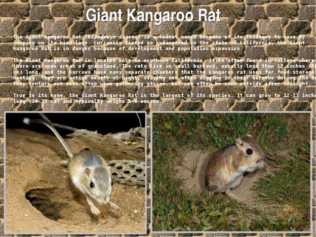 Giant Kangaroo Rat The Giant Kangaroo Rat (Dipodomys ingens) is a rodent name...