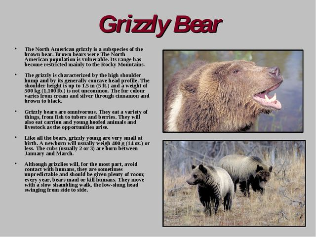 Grizzly Bear The North American grizzly is a subspecies of the brown bear. Br...