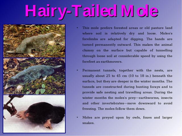 Hairy-Tailed Mole This mole prefers forested areas or old pasture land where...