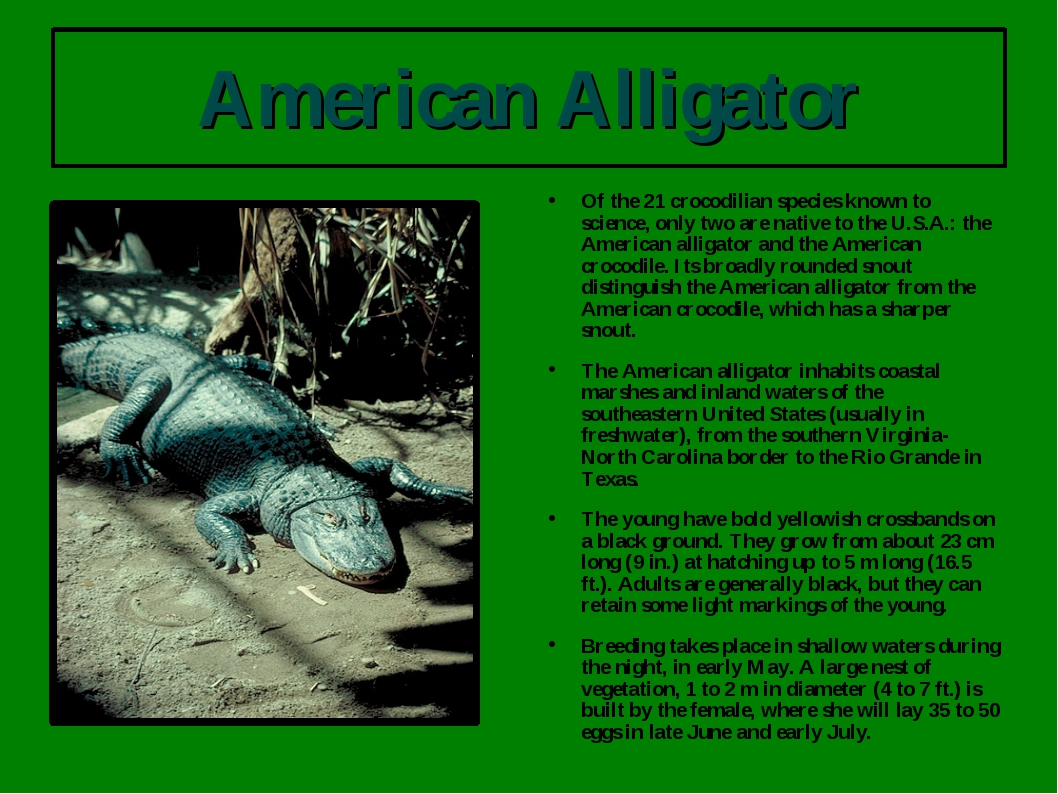 American Alligator Of the 21 crocodilian species known to science, only two a...