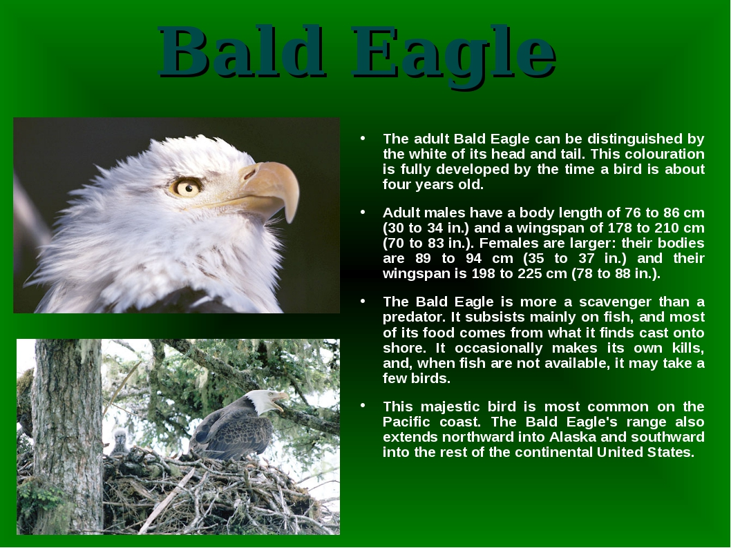 Bald Eagle The adult Bald Eagle can be distinguished by the white of its head...