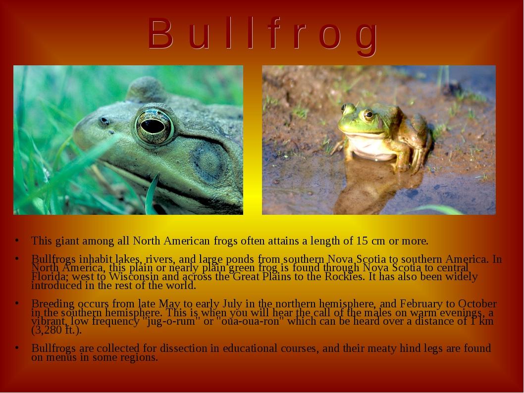 B u l l f r o g This giant among all North American frogs often attains a len...