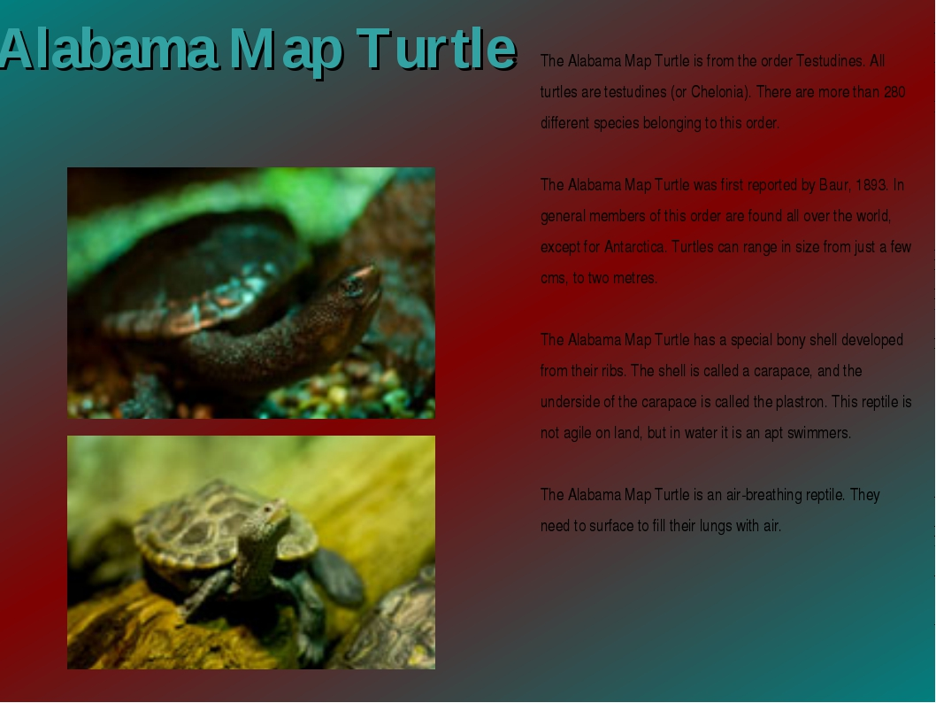 Alabama Map Turtle The Alabama Map Turtle is from the order Testudines. All t...