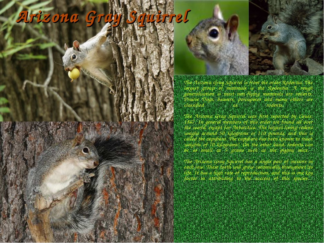 Arizona Gray Squirrel The Arizona Gray Squirrel is from the order Rodentia. T...