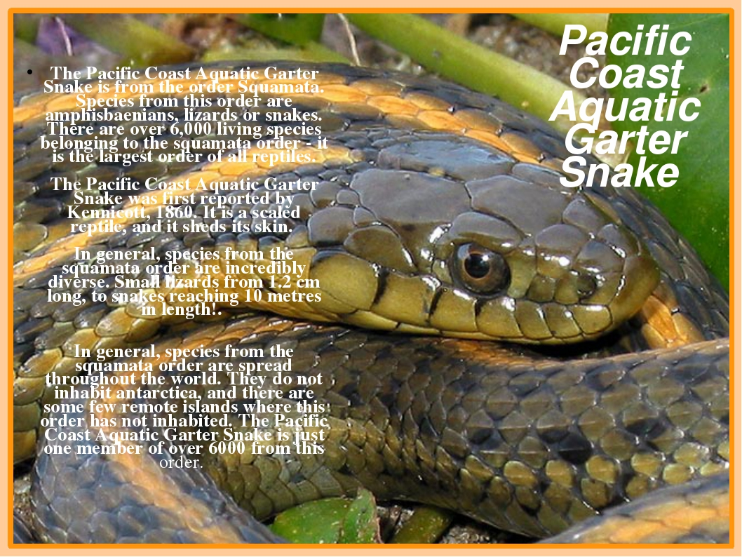 The Pacific Coast Aquatic Garter Snake is from the order Squamata. Species f...