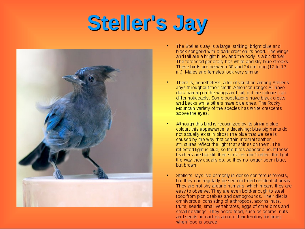 Steller's Jay The Steller's Jay is a large, striking, bright blue and black s...