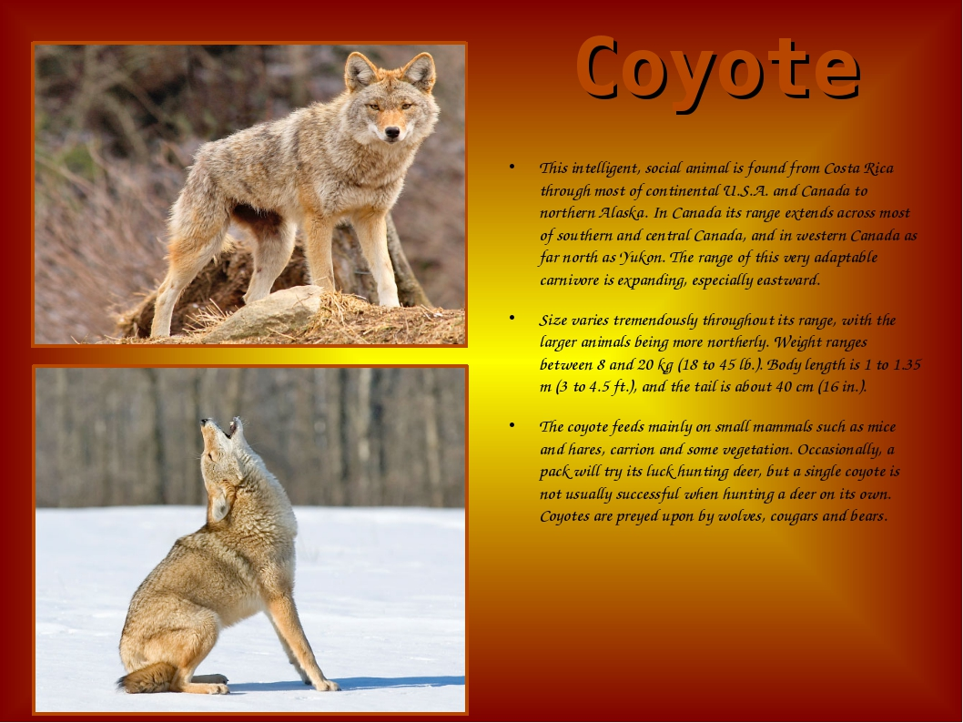 Coyote This intelligent, social animal is found from Costa Rica through most...