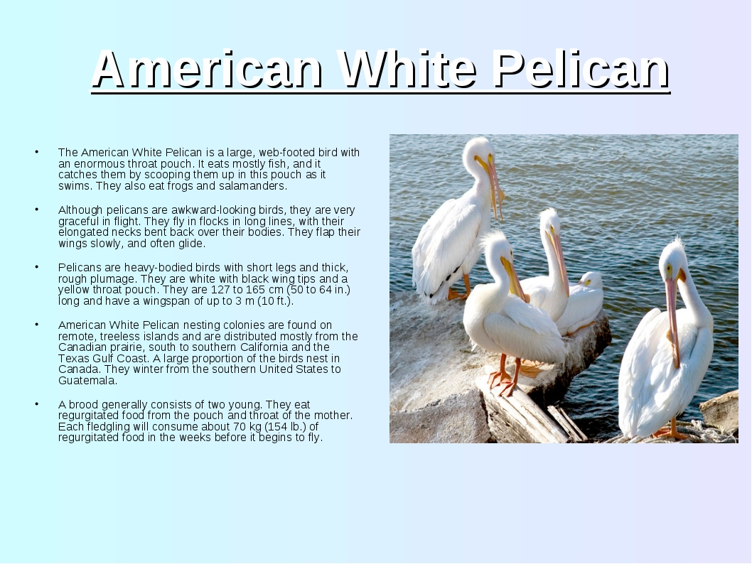 American White Pelican The American White Pelican is a large, web-footed bird...