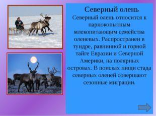 Северный олень Северный олень относится к парнокопытным млекопитающим семейс